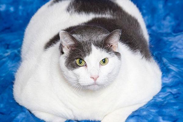 gatto-obeso